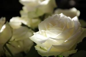 暗闇に光る白いバラ。